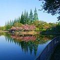 城北公園の八重桜