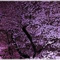 写真: 2010千鳥ヶ淵夜桜_001