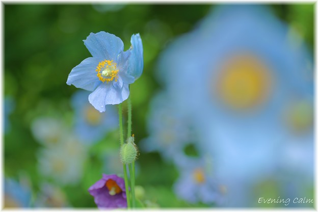 Photos: Blue Poppy_0016