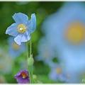 Photos: Blue Poppy_0016