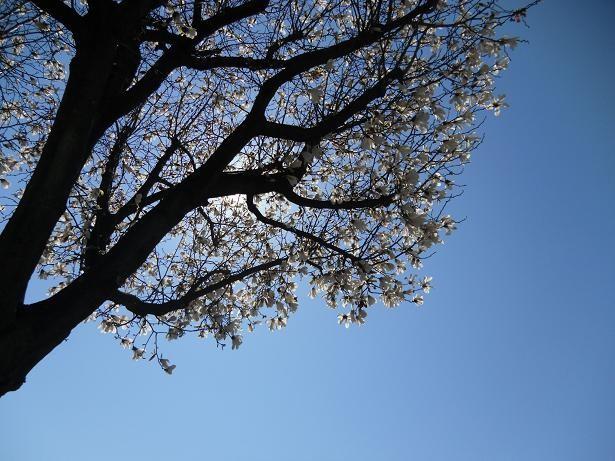 通学路の花木蓮