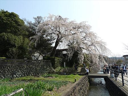 大原大しだれ桜(1)