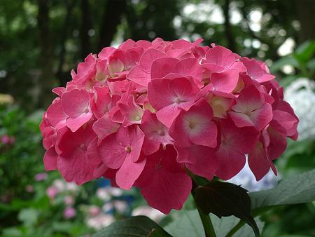 筥崎宮~紫陽花園(9)