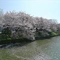 舞鶴公園の桜(11)