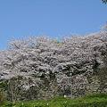 舞鶴公園の桜(20)