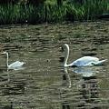 Photos: 奥卯辰山 健民公園 池の白鳥と青鷺