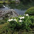 一重のクチナシ  天龍寺の池