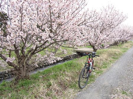 春めき桜(3)ふくざわ公園周辺