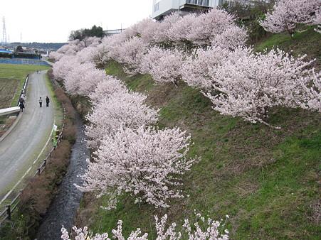 春めき桜(4)一の堰