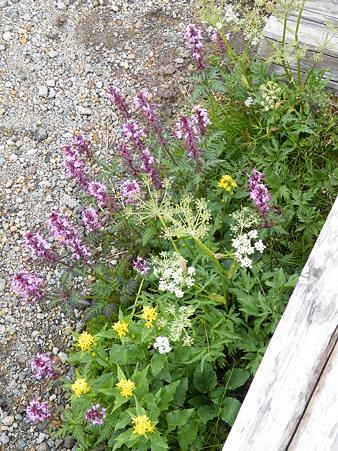 乗鞍岳畳平のお花たち