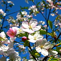 Photos: 桜 2題 春を待ち焦がれて