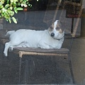 写真: 看板犬1