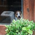 写真: 看板犬2