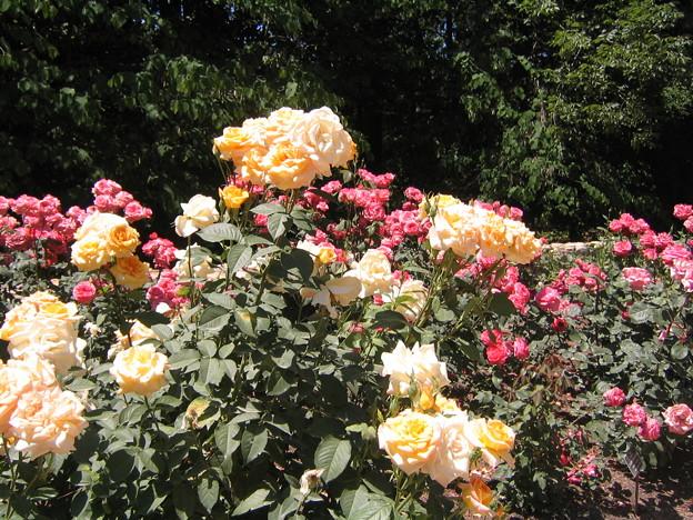 Sarah Duke Garden - Yellow Rose