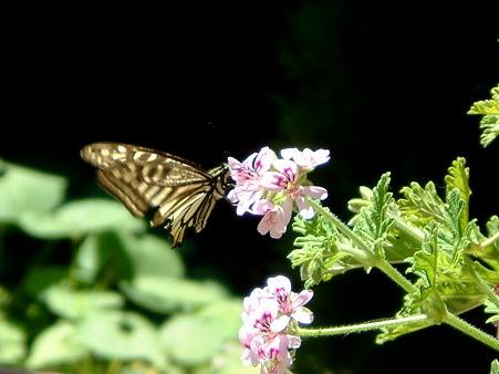 20050513アゲハ蝶