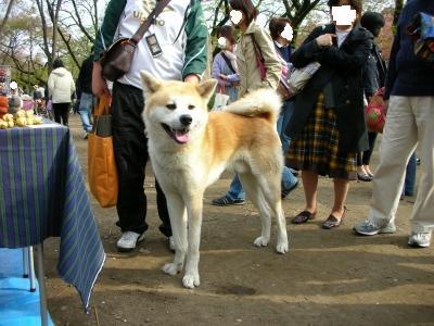 秋田犬大人気