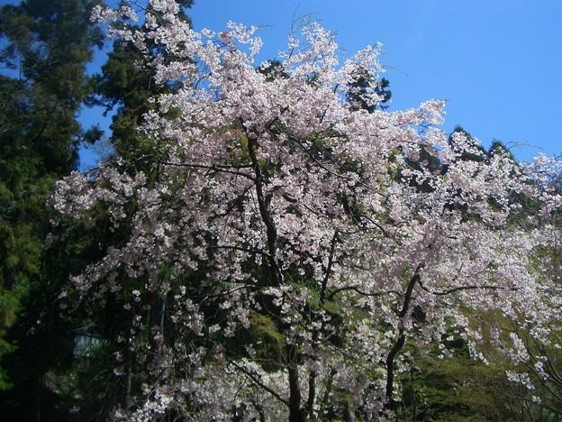 山崎の桜@サントリー山崎蒸溜所
