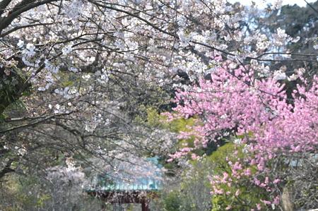 光則寺前の桜