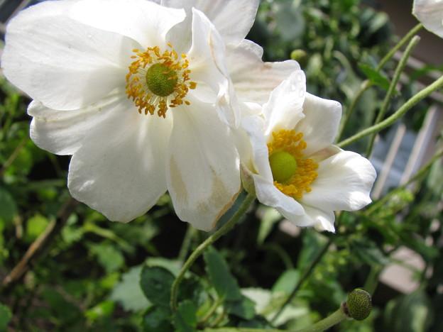 秋明菊の花二つ