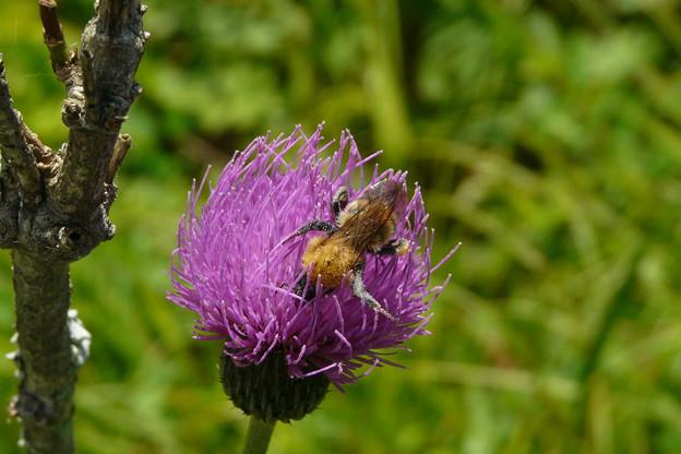 Photos: 蜂とノハラアザミ