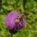 蜂とノハラアザミ