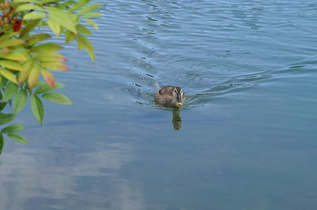 写真: 綺麗な泳ぎ・鴨さん