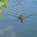 綺麗な泳ぎ・鴨さん