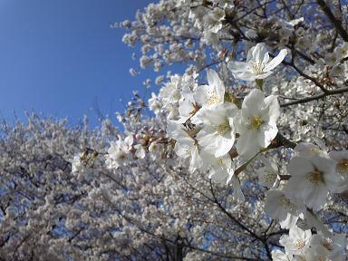 4月8日桜、桜。